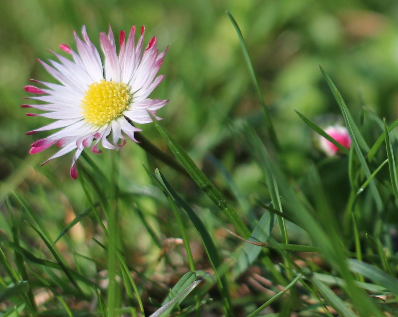 Gänseblümchen im Gras