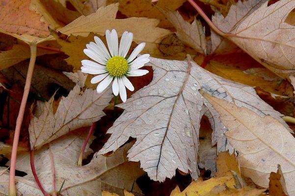 Gänseblümchen im Herbstlaub