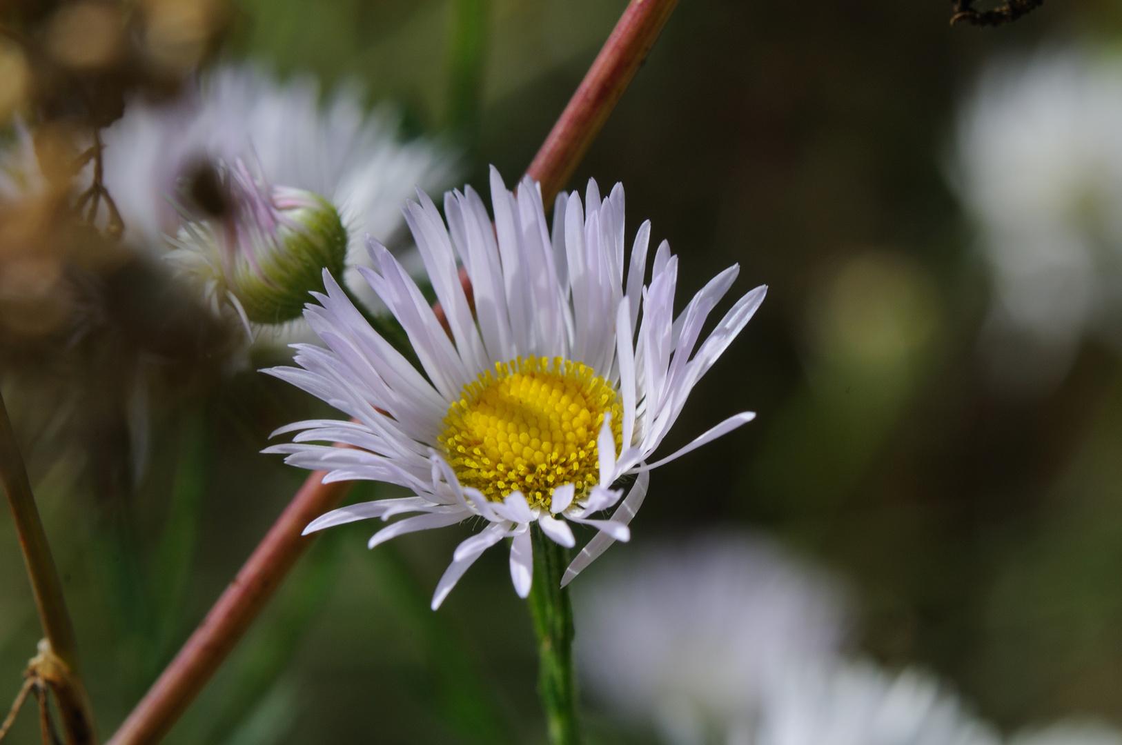Gänseblümchen im Wald