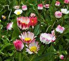 Gänseblümchen in Erwartung einiger warmer Sonnenstrahlen!