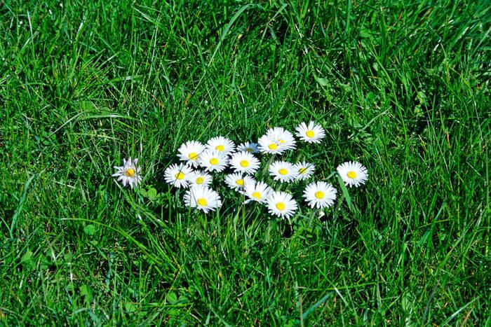 Gänseblümchen in Putbus