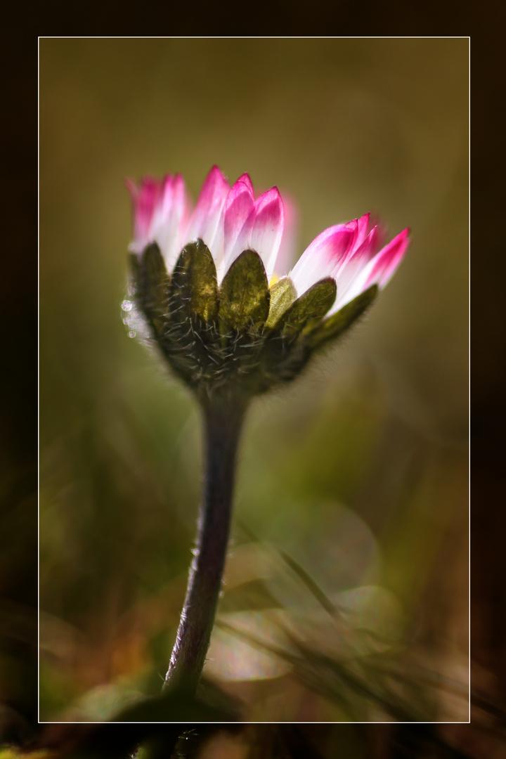 Gänseblümchen leuchet in der Frühlingssonne