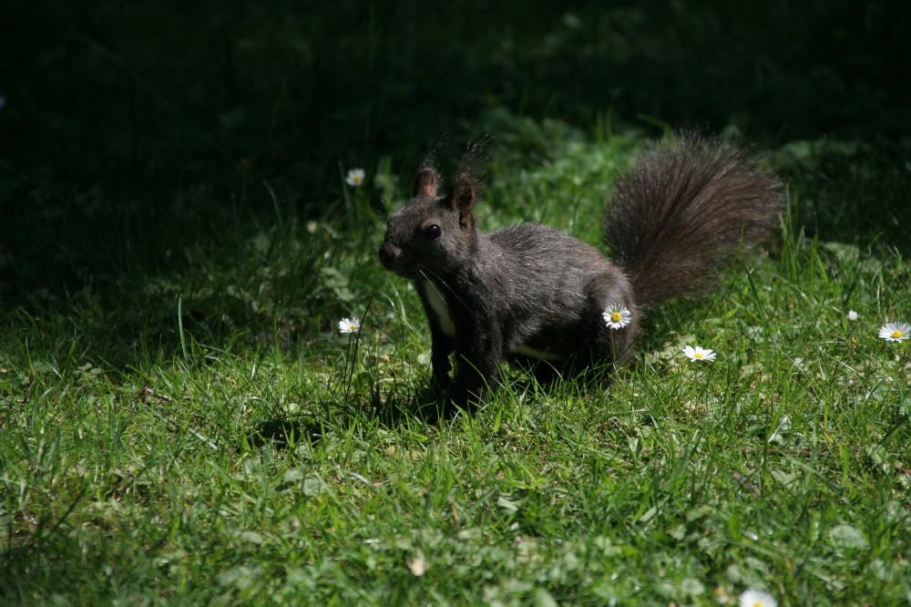 Gänseblümchen mit Eichhörnchen