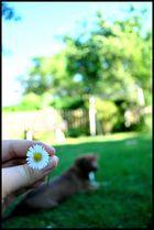 Gänseblümchen und Hündchen :)