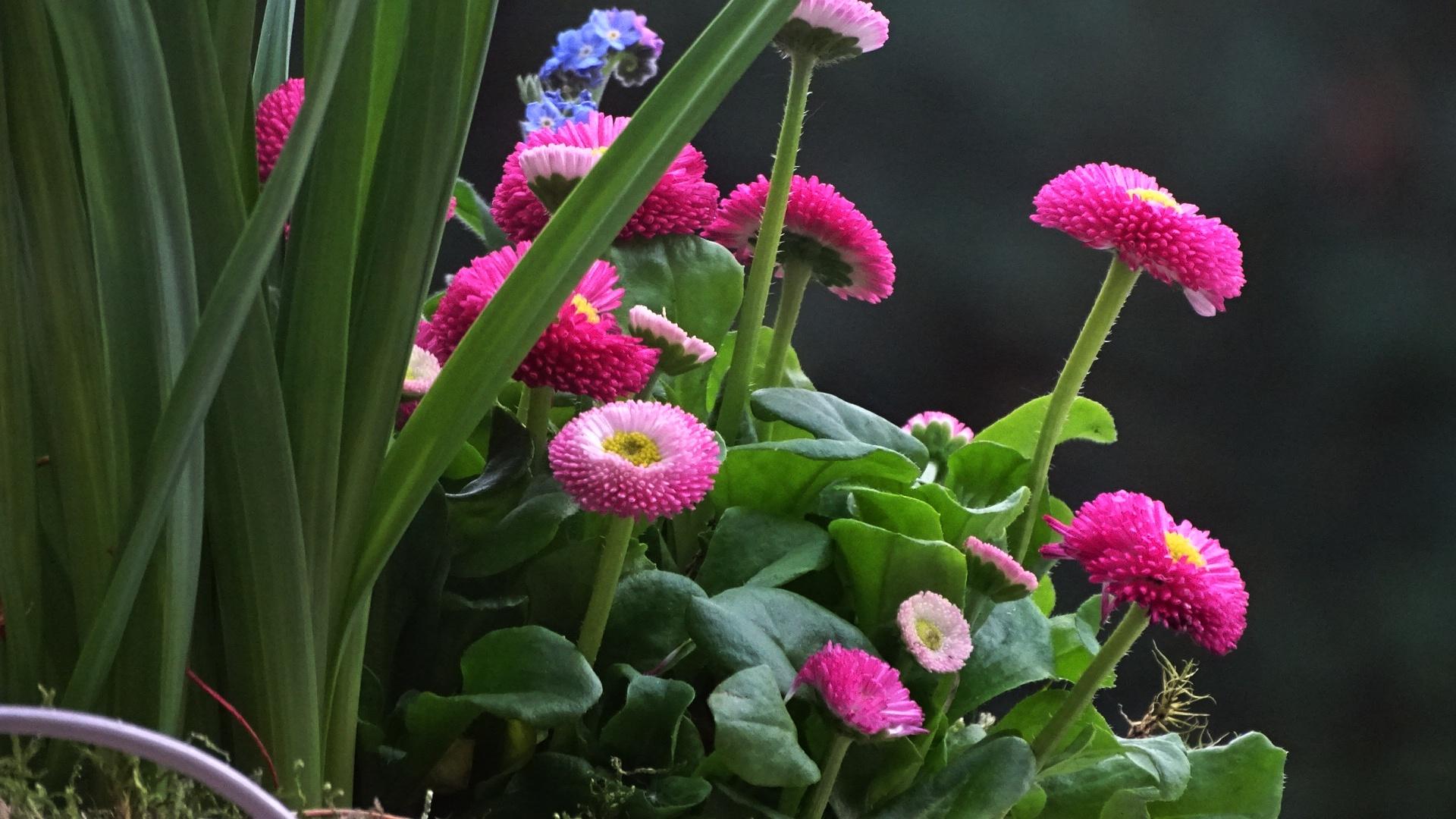 Gänseblümchen vor grünem Hintergrund