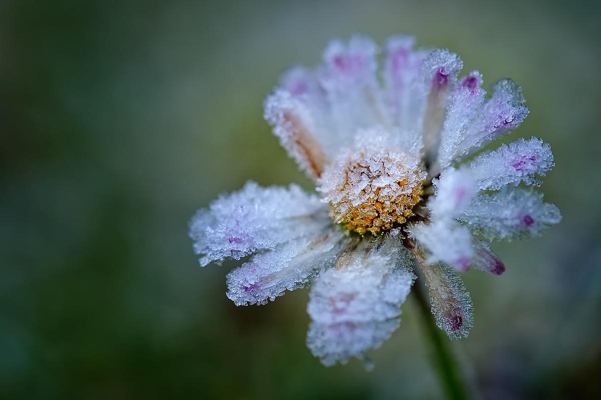Gänseblümchen zart