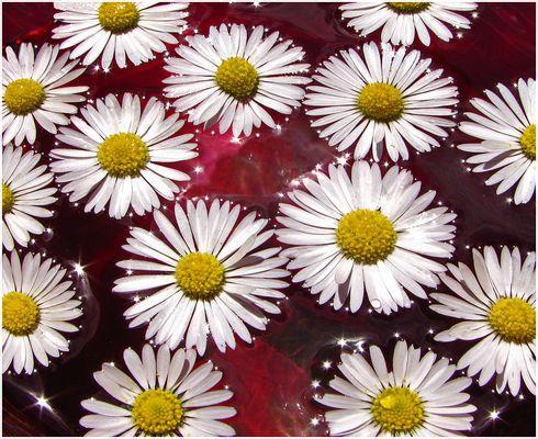 Gänseblümchenblüten in der roten Vase