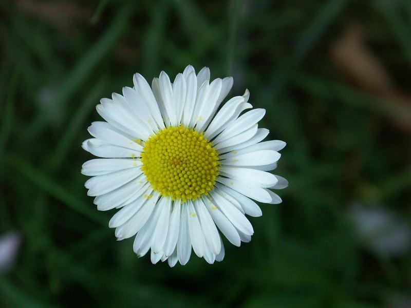Gänseblümlein im Garten