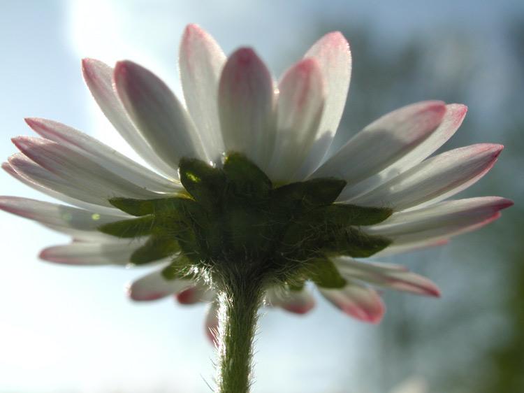 Gänseblume 1 von 2