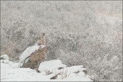 Gänsegeier im Schneetreiben