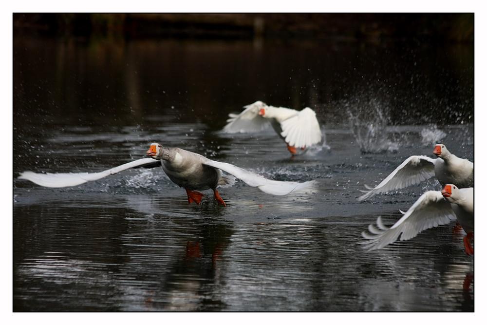Gänsestart auf dem grossem Teich.....