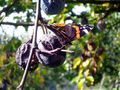 Gärende Früchte mit Schmetterling von Engelmarie