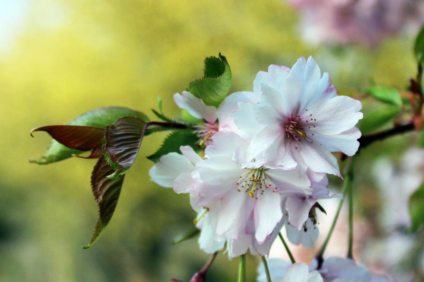 Gärten der Welt - Kirschblüten