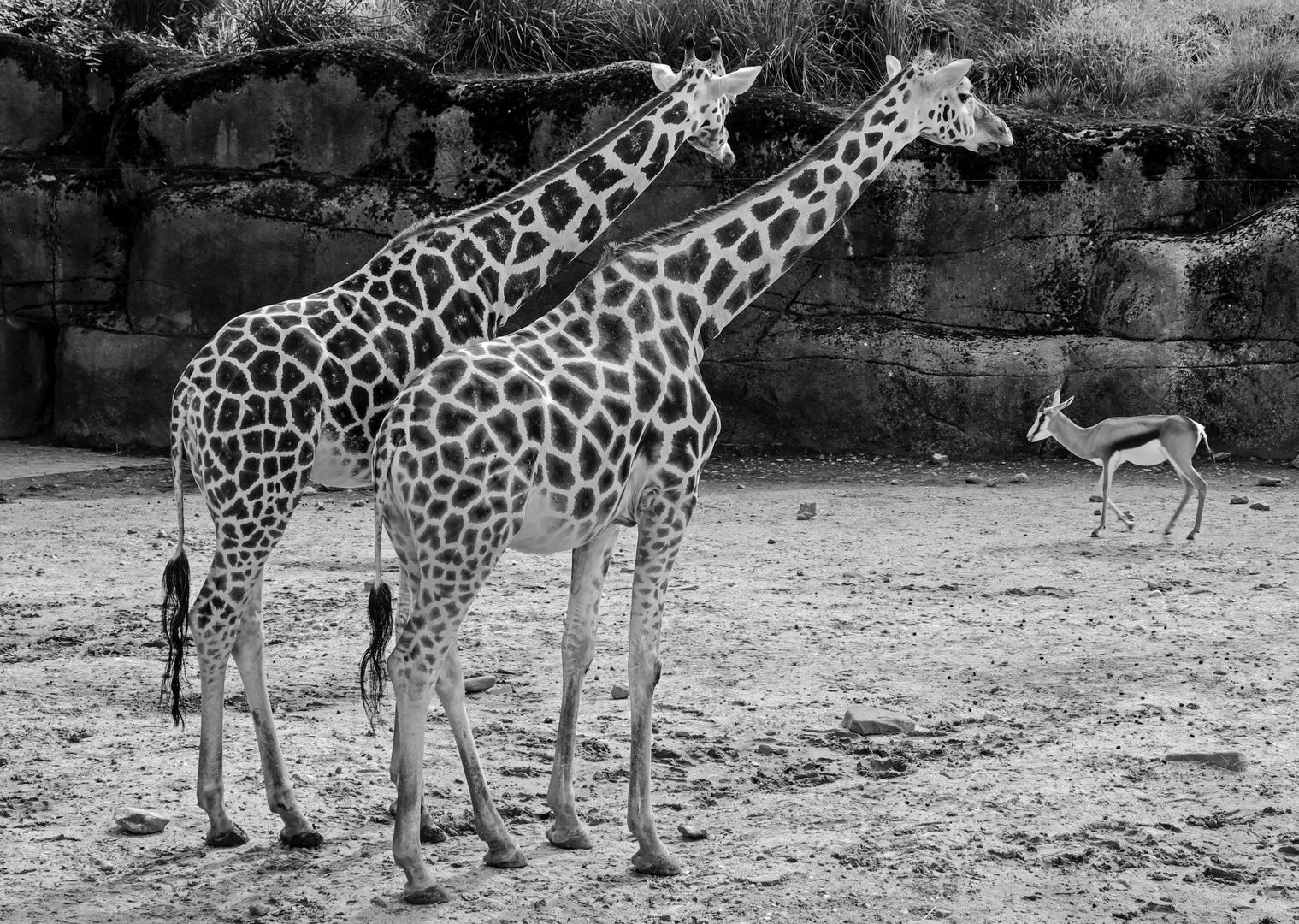 Kerkrade Niederlande gaiazoo kerkrade niederlande foto bild tiere zoo wildpark