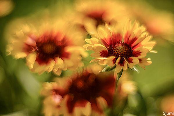 Gaillardia Blütentraum
