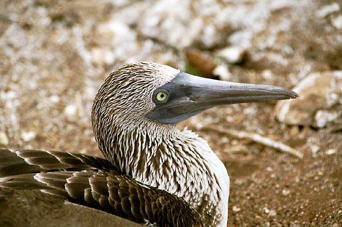 Galapagos 1 Blaufußtölpel I