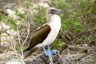 Galapagos 2 Blaufußtölpel II