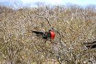 Galapagos 5 Fregattvogel