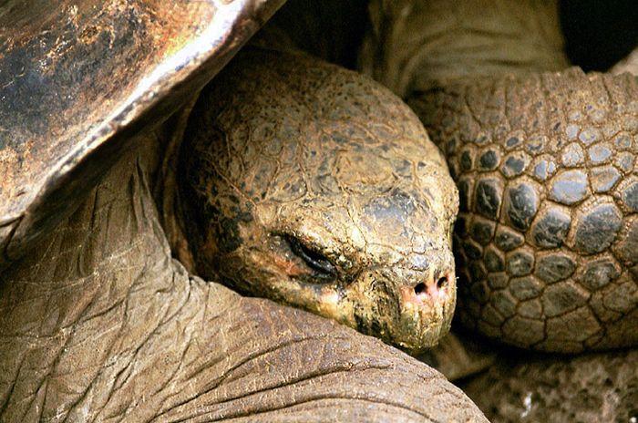 Galapagos 6 Schildkröte in der Charles Darwin Station