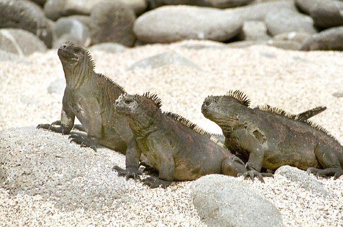 Galapagos 8 Meerechsen