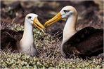[ Galápagos Albatros ]