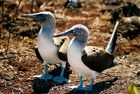 Galapagos - Blue Footed Booby Couple