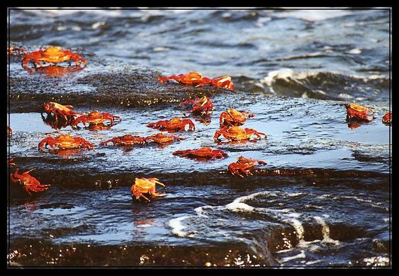 Galápagos-Krabben