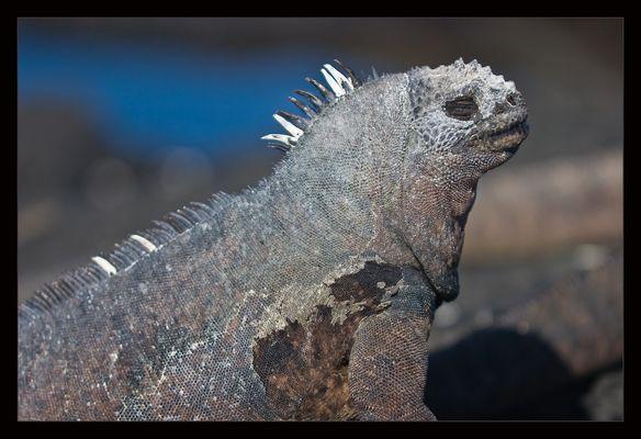 Galapagos-Meerechse im Profil