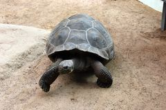 Galapagos-Riesenschildkröte im Zoo Rostock
