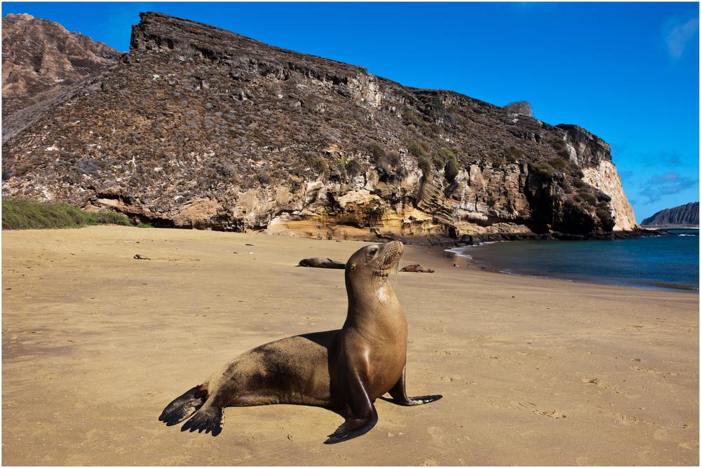 [ Galápagos Sea-Lion ]