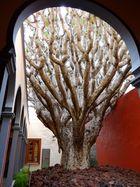 Galdar - Der Drachenbaum