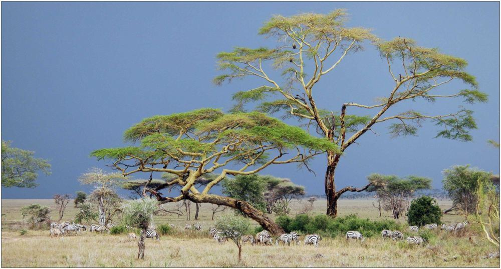 Galeriewald - Serengeti