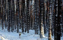 Galgo im fränkischen Winterwald