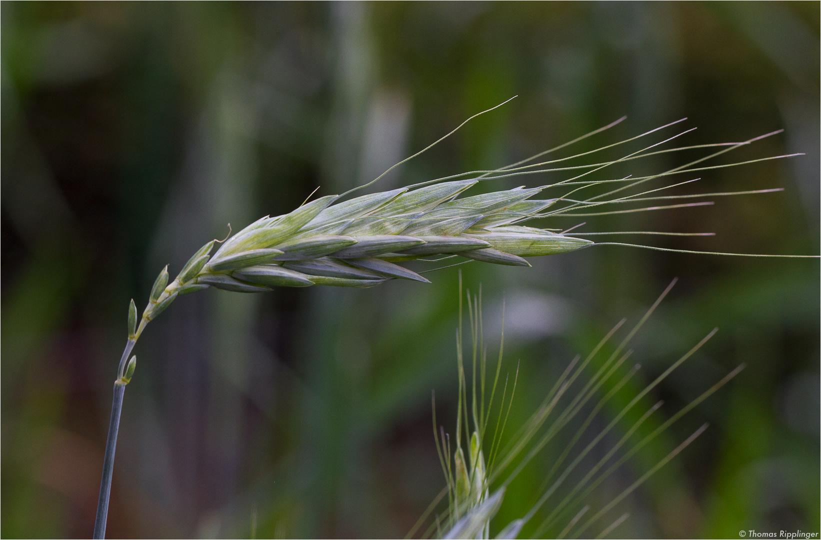 Galizien-Weizen / Polnischer Weizen / Gommer (Triticum turgidum polonicum)