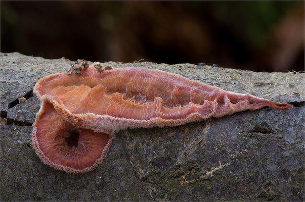 Gallertfleischiger Fältling (Phlebia tremellosa)
