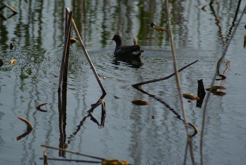 Gallinule  sur l'étang de Fontmerle à Mougins
