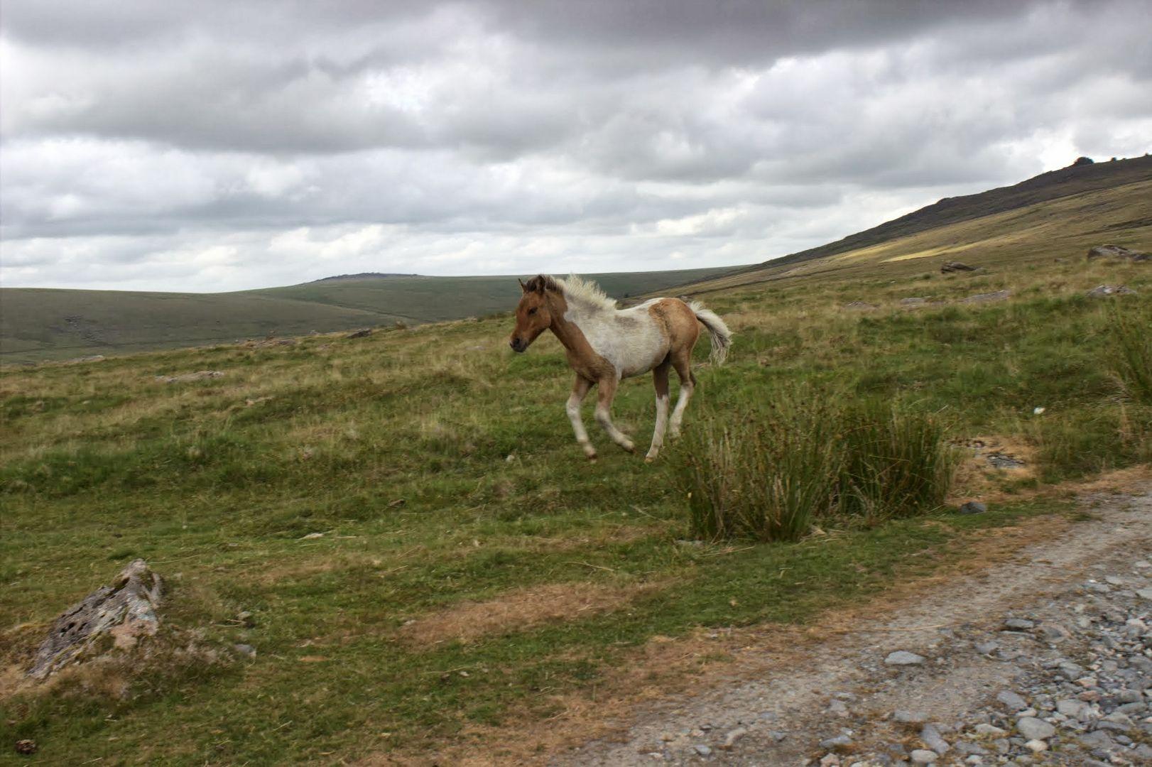 Galloppierendes Dartmoorfohlen