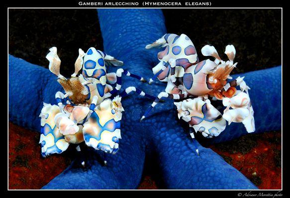 Gamberi arlecchino (Hymenocera elegans)