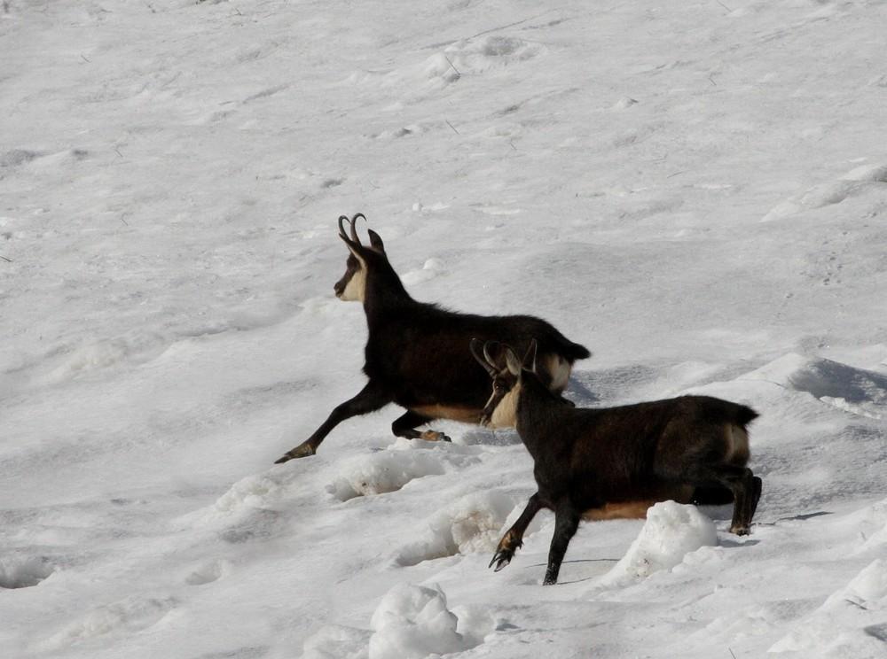 Gamsböcke im Schnee