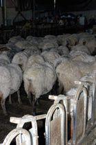 Gando ovino no establo