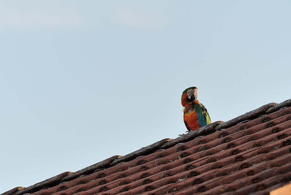 GANZ aktuell, um 19 Uhr beim Pälzer uff soim Dach, e bunter Vogel, ein (ARA).