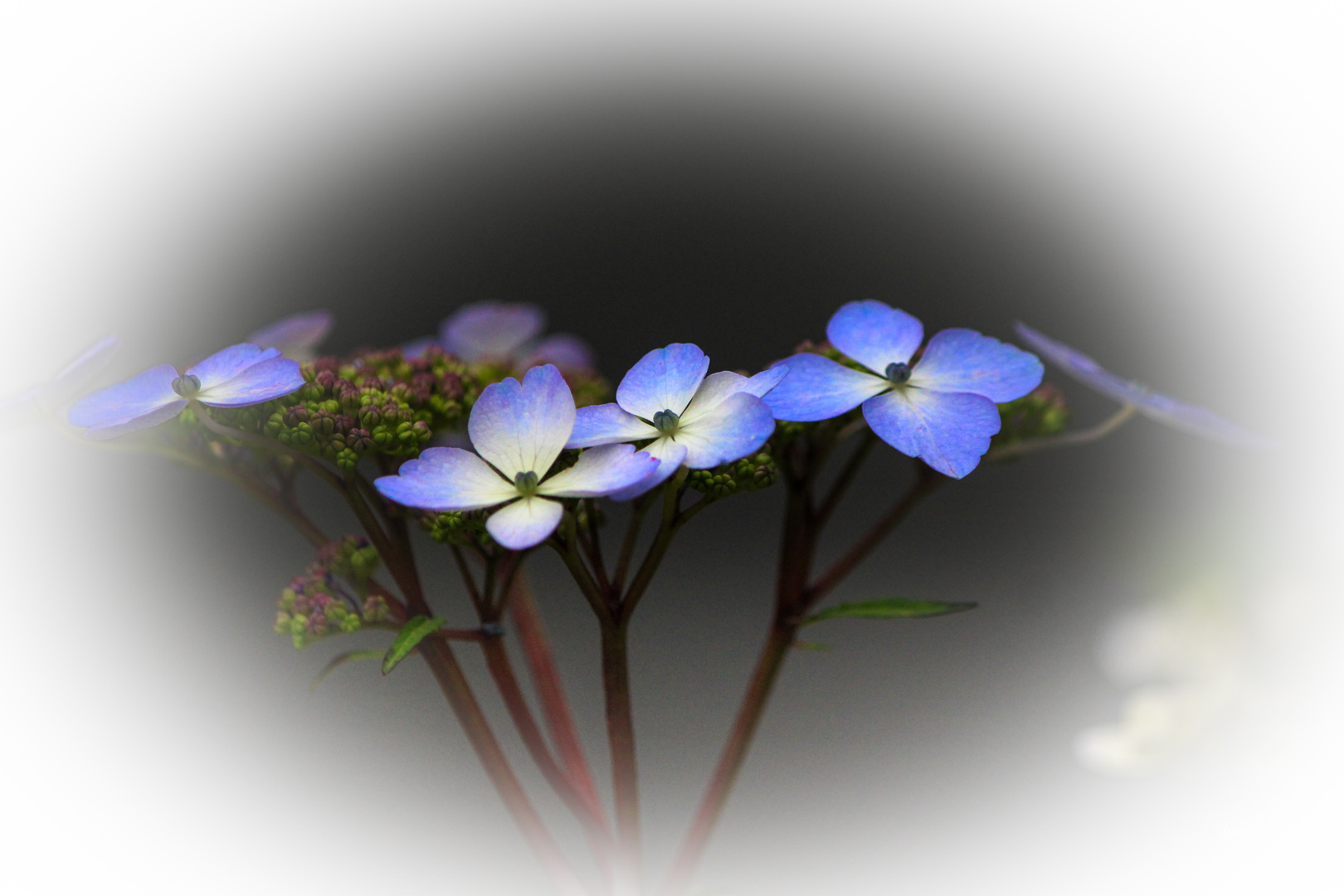 ganz flache Blüte