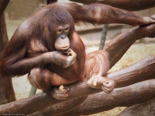 ganz in Gedanken schien dieser Orang Utan zu sein....