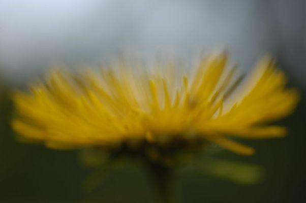 ganz schlicht:   gelbe Blume