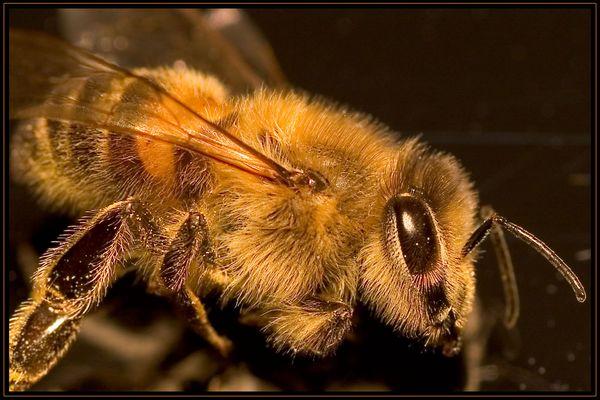 Ganz schön haarig so ne Biene