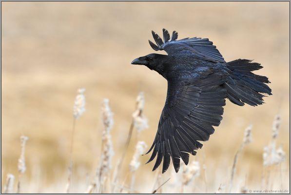 ganz schön schnell... Kolkrabe *Corvus corax*