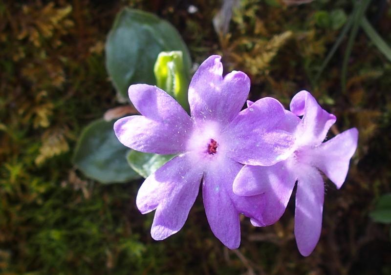 Ganzblättrige Primel 'Primula integrifolia'