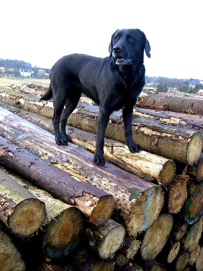 Ganzer Labrador auf Holzspiegel an leichtem Januarhimmel