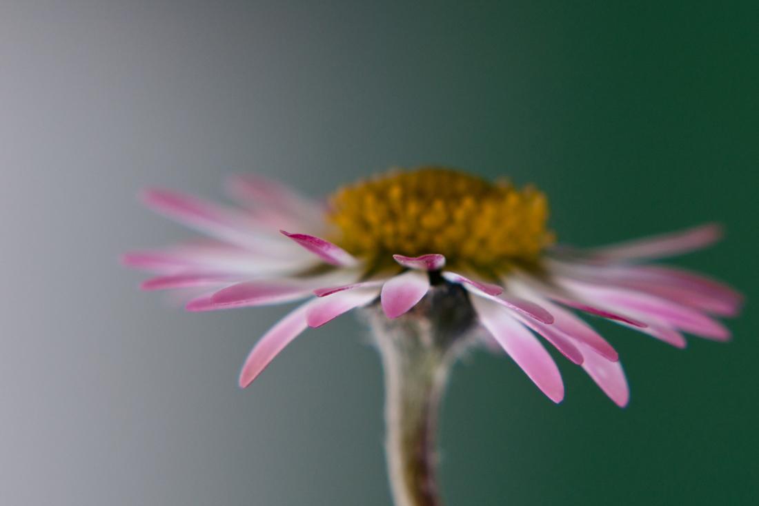 Ganzjahresblümchen