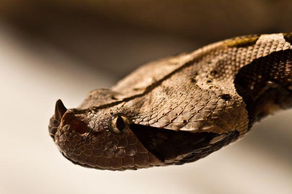 Gapun Viper